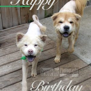 Happy Birthday Card The Chows Rescue Dog Photography